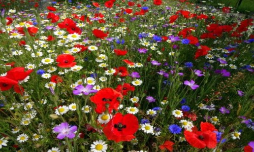 York University in Bloom thanks to John Chambers Wildflower Seed
